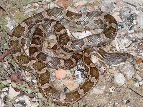 Snakes Of The Brazos Valley Texas Rat Snake