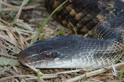 Snakes of the Brazos Valley - Texas Rat Snake