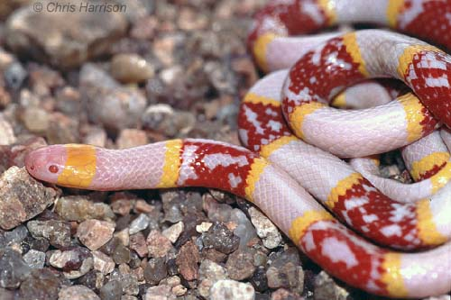 Pics For > Coral Snake And Milk Snake