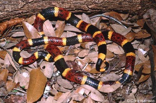 Snakes of the Brazos Valley - Texas Coral Snake
